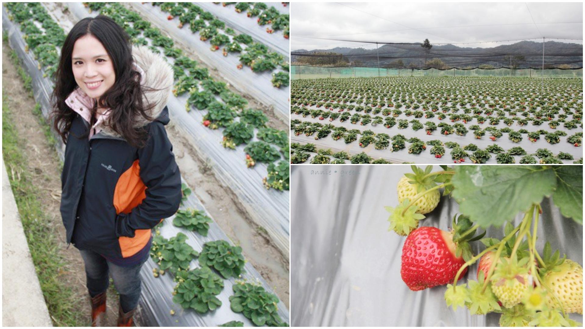 草莓季採草莓囉~高橋草莓園-新竹關西